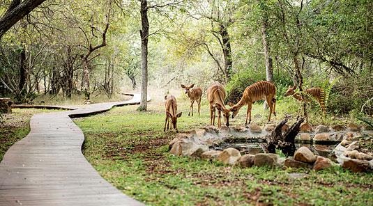 Kudu roaming the gardens in Dulini Safari Lodge, Sabi Sand Game Reserve