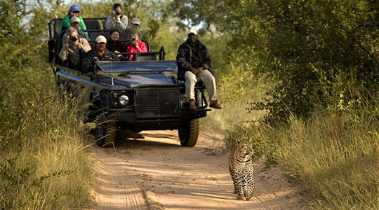 Leopard sighting while on Game Drives, Book your safari Lion Sands River Lodge located in the Big Five Sabi Sand Private Game Reserve, South Africa