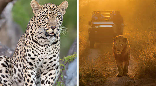 Leopard and Lion sighting, Daily Game Drives at Lion Sands River Lodge located in the Big Five Sabi Sand Private Game Reserve, South Africa