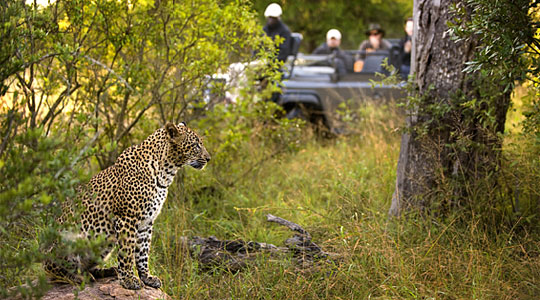 Game Drives Leopard Luxury South African Safari Lion Sands Private Game Reserve Sabi Sand Game Reserve South Africa