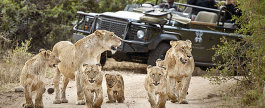 Pride of Lion,Sighting,Safari Lodge Booking,Game Drive,Founder's Camp,Londolozi,Game Reserve,Sabi Sand,Private Game Reserve