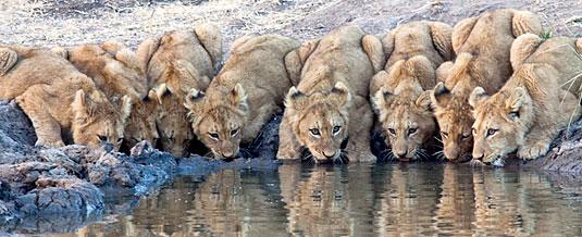 Lion Cub Sightings Waterhole Game Drive Sabi Sabi Private Game Reserve Sabi Sands Reserve Luxury Accommodation