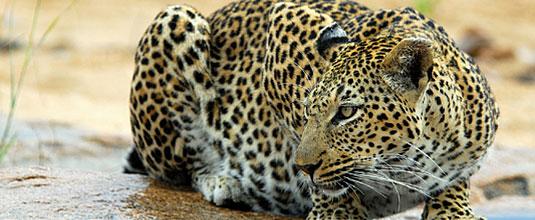 Ulusaba Cliff Lodge Leopard sighting Ulusaba Private Game Reserve Sabi Sand Private Game Reserve