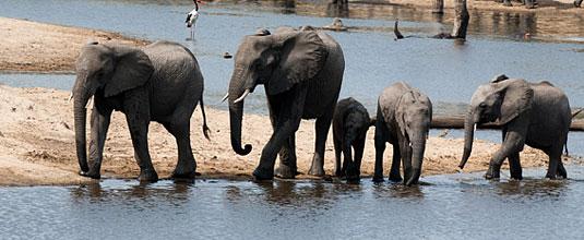 Elephant Herd visiting the River at Safari Lodge, Ulusaba Private Game Reserve - Sabi Sand Private Game Reserve