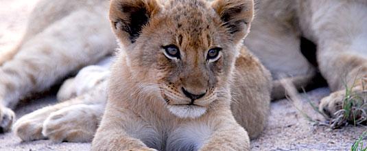 Ulusaba Rock Lodge Lion Cub Rock Lodge Ulusaba Private Game Reserve Sabi Sand Private Game Reserve