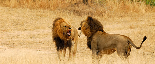 Ulusaba Male Lions Fighting Ulusaba Private Game Reserve Sabi Sand Private Game Reserve