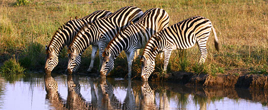 Ulusaba Zebra herd waterhole Ulusaba Private Game Reserve Sabi Sand Private Game Reserve