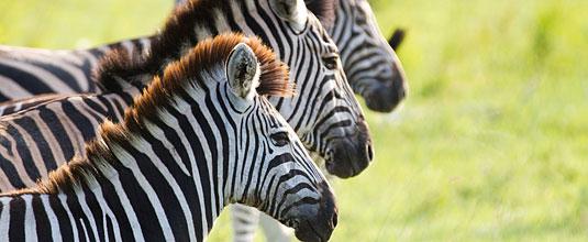 Ulusaba Rock Lodge Zebra Herd Rock Lodge Ulusaba Private Game Reserve Sabi Sand Private Game Reserve
