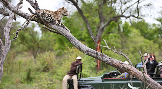 Game Drives Leopard Kirkmans Kamp Exeter Private Game Reserve Sabi Sand Game Reserve Game Lodge Bookings