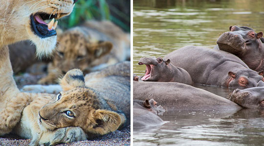 Lion Cub Hippo Pod Sabi Sand Big Five Safari Game Drives Ivory Lodge Lion Sands Sabi Sand Game Reserve South Africa