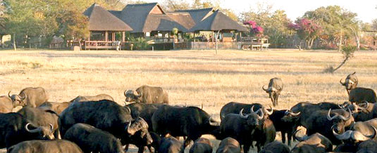 Buffalo sighting,Main Lodge,Nkorho Bush Lodge,Sabi Sands Private Game Reserve,Kruger National Park,Accommodation Booking