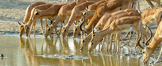 Impala,Waterhole,Notten's Bush Camp,Nottens Private Game Reserve,Sabi Sands Game Reserve,Accommodation bookings
