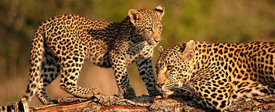 Luxury Safari Holiday,Leopard and her cub,Sighting on Game Drive,Notten's Bush Camp,Nottens Private Game Reserve,Sabi Sands Game Reserve,Accommodation bookings