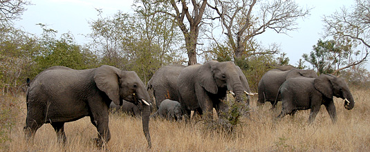 Elephats,herd,sighting,bush,big 5,Notten's Bush Camp,Nottens Private Game Reserve,Sabi Sands Game Reserve,Safari Lodge bookings