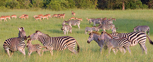 Zebra Sighting Game Drive Sabi Sabi Private Game Reserve Sabi Sands Reserve Luxury Accommodation