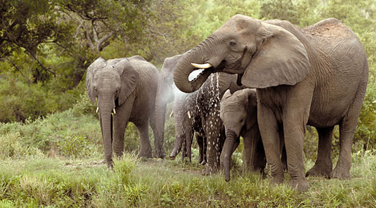 Elephants herd Sighting Game Drives waterhole Luxury Accommodation Savanna Private Game Reserve Sabi Sands Reserve Accommodation bookings