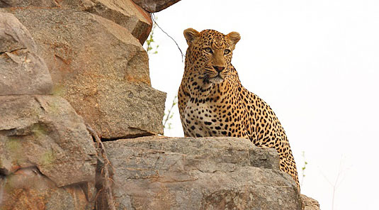 Leopard Sighting Game Drives Sabi Sands Savanna Private Game Lodge Luxury Accommodation Sabi Sands Game Reserve
